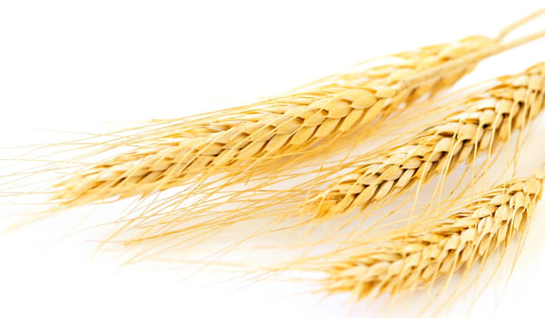 germ wheat oil