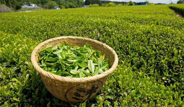 green tea 3